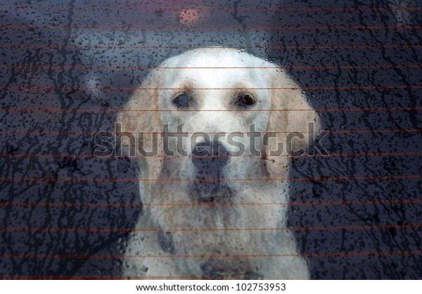 Labrador retriever behind the rear car window on a rainy day