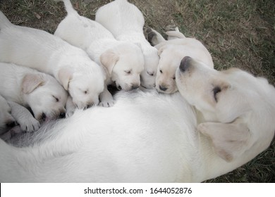 Labrador retriever is breastfeeding her puppies / Group of newborn puppies having a meal