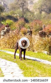 Labrador retriever brown color with Elizabethan collar