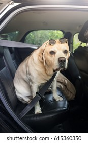The labrador retriever in car and safety belt