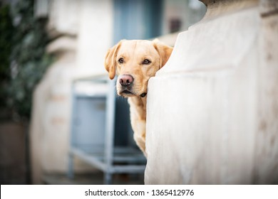 Labrador Retriever in the city. Well behaving dog in the city. Obedient Retriever.