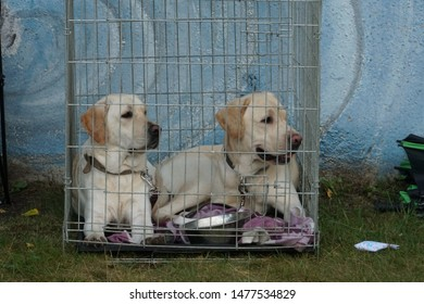 The Labrador Retriever - a couple of dogs in a metal cage. One of the most popular breeds of dog. It was bred to be both a friendly companion and a useful working dog breed. An animal shelter scene.