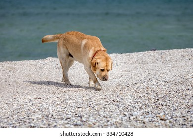 Labrador Retriever dog at the beach