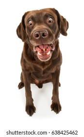 Labrador retriever dog breed dog brown sits horrified silly funny and catches tasty mouth open