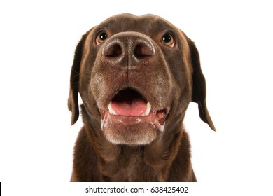 Labrador retriever dog breed dog head brown chocolate looks funny with big nose and mouth open laughs