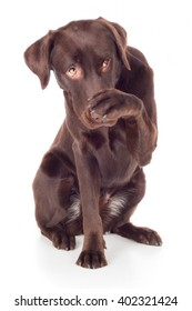 Labrador Retriever dog breed sitting and paw ashamed top brown
