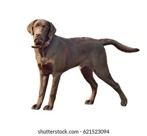 Labrador retriever dog. Close-up portrait isolated on white background