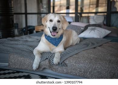 Labrador retriever dog in a cute scarf
