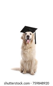 Labrador retriever dog with a graduation hat isolated on white background