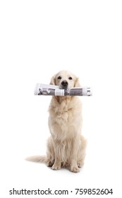 Labrador retriever dog holding a newspaper in his mouth isolated on white background