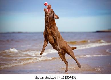 labrador retriever dog jumping up