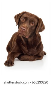 Labrador retriever dog is lying on floor and peeking head wards with oblique head