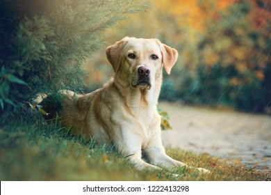 Labrador retriever dog lying under a tree in the rain