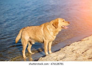 Labrador retriever dog on beach. Sun flare