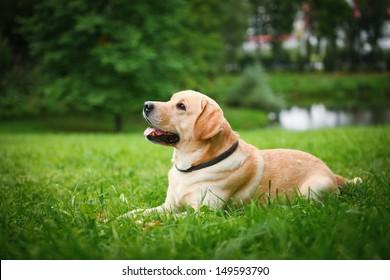 labrador retriever dog on the nature