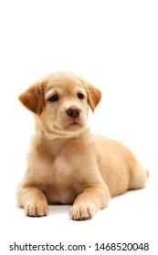 Labrador retriever dog on a white background.