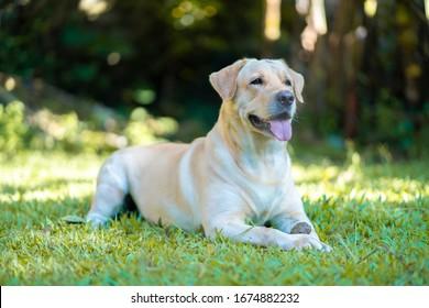 labrador retriever dog outdoors in green grass