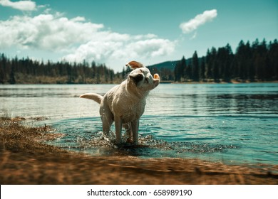 Labrador Retriever Dog Puppy taking a bath and shaking off water in front of beautiful mountain lake