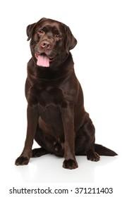 Labrador retriever dog sitting on white background