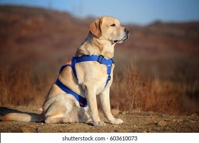 Labrador Retriever dog sitting outdoor