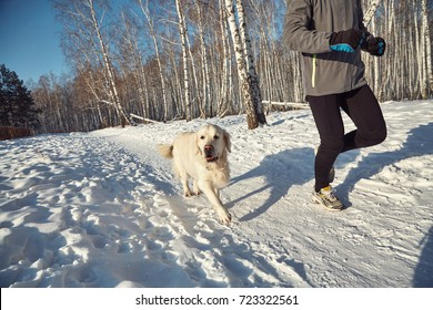 Labrador retriever dog for a walk with its owner man in the winter outdoors doing sport