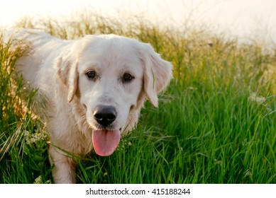 labrador retriever dog walking in park