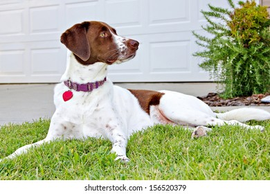 A Labrador retriever, English Springer Spaniel and Plot Hound mix at 1 year and 10 months happily keeping watch on her new permanent home, alert to any intruders.
