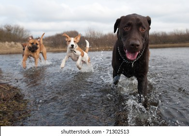 Labrador Retriever and friends having fun in the water