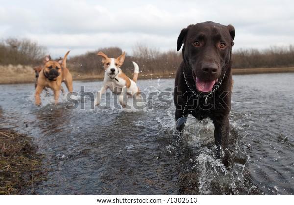 Labrador Retriever og venner, der har det sjovt i vandet