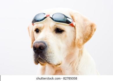 Labrador retriever with glasses