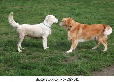 Labrador retriever and golden retriever interact with each other at the playground.