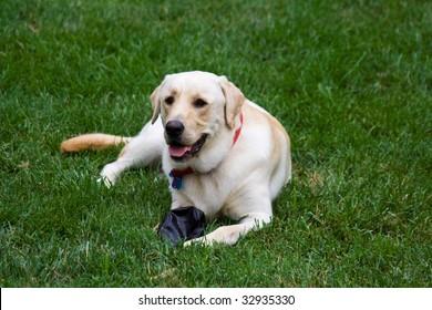 Labrador Retriever in the grass with a toy