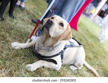 Labrador retriever guide dog before the last training for the animal. The dogs are undergoing various trainings before finally given to the physically disabled people.