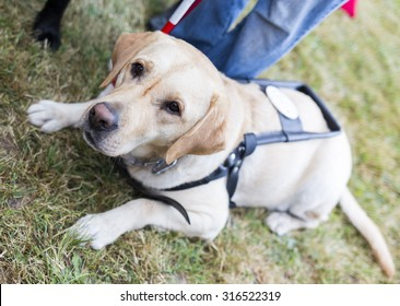 Labrador retriever guide dog before the last training for the animal. The dogs are undergoing various training before finally given to the physically disabled people.
