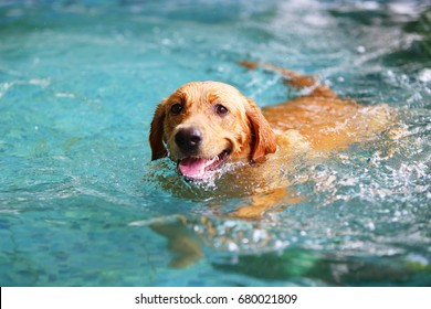 Labrador Retriever, Happy dog swimming, Dog smiling