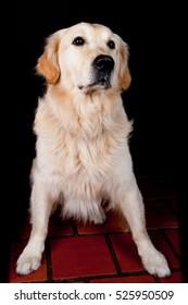 Labrador, retriever in an house