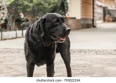 Labrador retriever image
