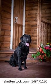 Labrador Retriever in the interior