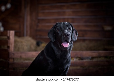Labrador Retriever in the interior
