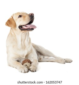 Labrador Retriever isolated on a white background