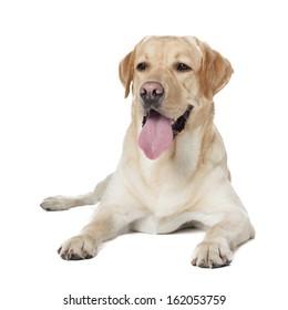Labrador Retriever isolated on a white background