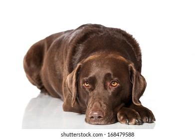 Labrador retriever isolated on white