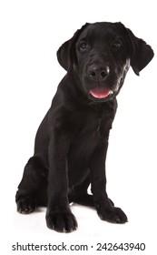 Labrador Retriever isolated on white.