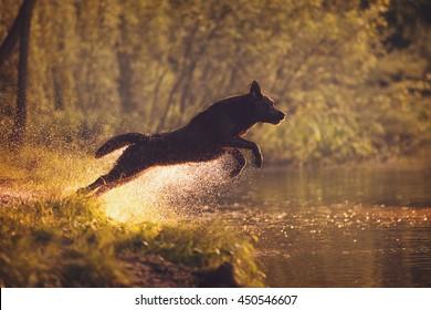 Labrador Retriever Jumping into the Water