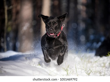 Labrador retriever jumping,running,flying in the snowy beautiful day!