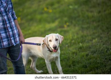 Labrador Retriever, also Labrador, labradorite for a walk. The boy is holding a Labrador on a leash. The dog stuck out his tongue.