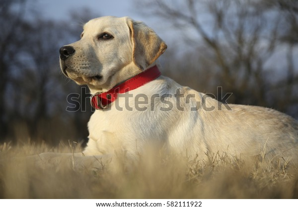 Labrador retriever laying on the grass. Dog portrait.
