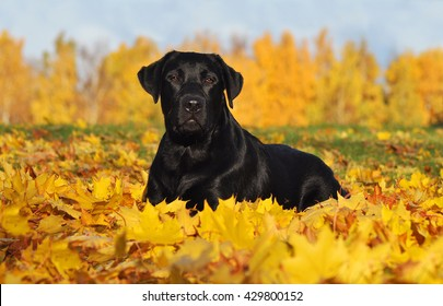 Labrador Retriever lying down in the beautiful Autumn leaves