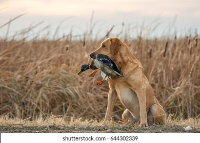 Labrador Retriever and Mallard Duck