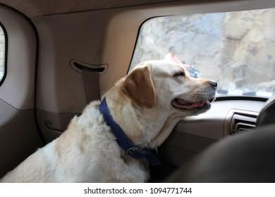 Labrador Retriever On a Road Trip